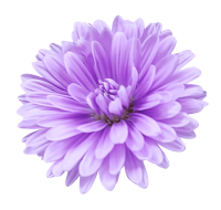 Aster Breeder From Holland